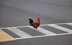 chicken pedestrian