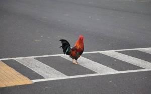chicken pedestrian